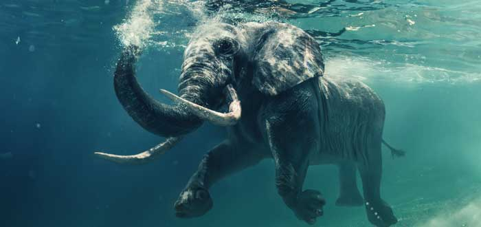 30 Curiosities about elephants 1