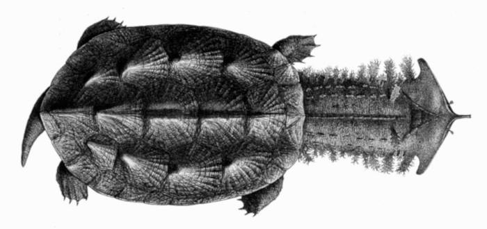 Turtle Matamata head
