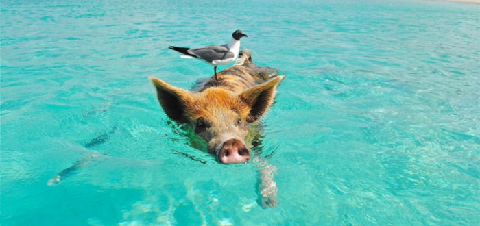 Curiosities of the Pigs swimming