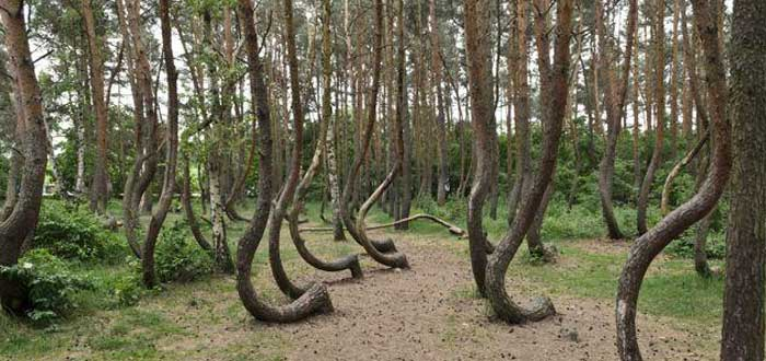 The Twisted Forest Mystery of Poland