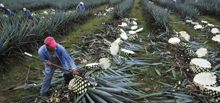 What is the Origin of Tequila? two