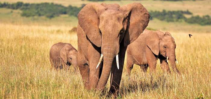 30 Curiosities about elephants 2
