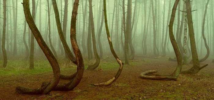 The Mystery of the Twisted Forest of Poland 2