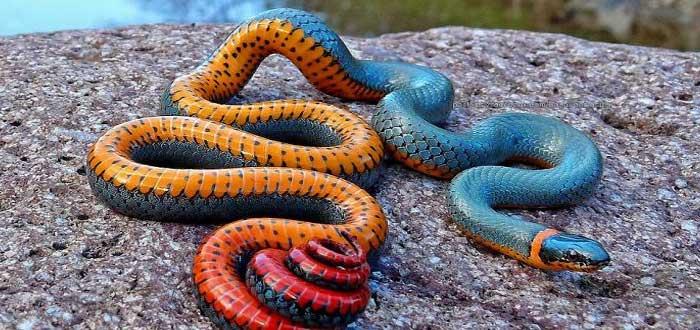 The amazing Snake Ringneck 2