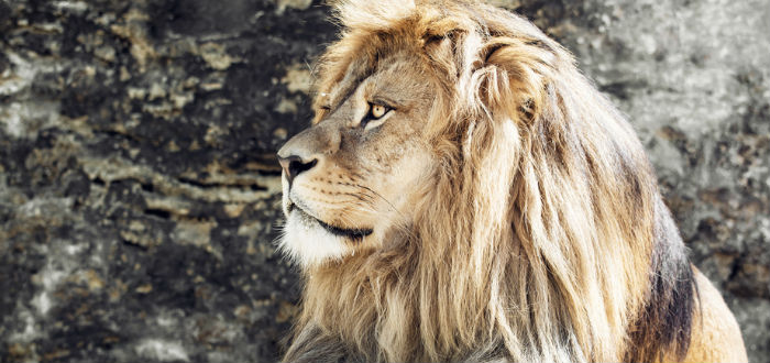 curiosities of Morocco, lion of the Atlas