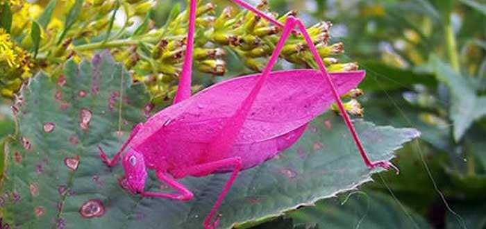The Pink Grasshopper 1