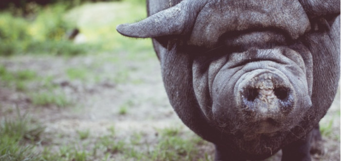 Curiosities of the brown pigs