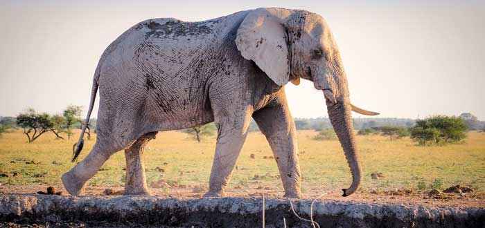 30 Curiosities about elephants 4