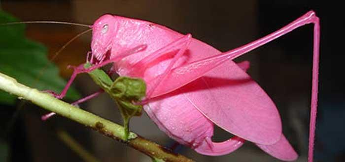 The Pink Grasshopper
